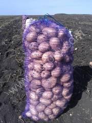 Картофель с поля 2013
